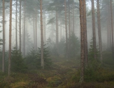 Fog_in_a_forest,_Telemark_1