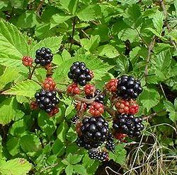 250px-Blackberries_on_bush